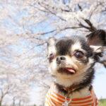 4月7日(土)桜の名所「千葉公園」でプロカメラマンによる愛犬と一緒にお散歩撮影会