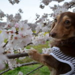 愛犬と春旅行♥「日本さくら名所100選」長野県 懐古園でお花見&軽井沢マリオットホテルに宿泊