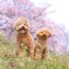 春の川沿いを愛犬と一緒に散歩しよう!桜と菜の花のコラボレーションも楽しめる♡「とよかわ桜まつり」