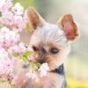 4月上旬が狙い目!愛犬と散策しながら楽しめる近畿地方のお花見スポット<和歌山・滋賀・三重>