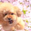 イベントも盛りだくさん!愛犬と散策しながら楽しめる中部地方のお花見スポット<静岡・愛知・山梨・岐阜>