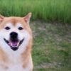 4月8日は柴の日!?京都の「Dog Cafe」と鎌倉の「Pas a Pas」で東西古都柴犬祭り2018を開催!