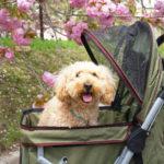 まだ間に合う!?見頃は4月中旬から!愛犬と散策しながら楽しめる関東地方のお花見スポット