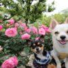 熱海ローズフェスティバル開催中!愛犬と一緒に海が見渡せる「アカオ ハーブ&ローズガーデン」へ行こう