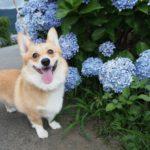 神奈川県足柄エリアを愛犬と一緒に梅雨空ドライブ♪「大雄山 最乗寺」と「あじさいの里」
