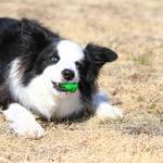 【大型犬&超大型犬】丈夫で長く遊べるオススメのおもちゃベスト5!
