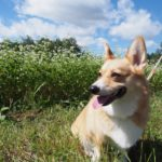 愛犬と一緒に爽やかな気候とのどかな景色と絶品アイスクリームを楽しもう♪開田高原<長野県木曽郡>