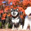 愛犬と一緒に秋の富士河口湖紅葉まつり&グランピングを楽しもう!<山梨県>