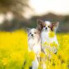 1月から菜の花が!?犬連れ歓迎の「渥美半島菜の花まつり」で春を先取り!<愛知県>