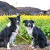 1月から菜の花が楽しめる南伊豆町で愛犬と春を先取り♪2019年2月10日~3月10日「みなみの桜と菜の花まつり」開催!