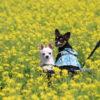 愛犬と一緒に房総半島で春を先どり♪菜の花が咲き誇る「菜な畑ロード2019」&花畑がある「道の駅」&電車に乗ってお花見鑑賞「いすみ鉄道」