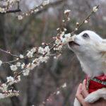 【神奈川県】都心からも約2時間!2月~3月に開催される愛犬同伴OKの梅まつり特集