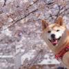 <3月下旬~4月上旬見頃>愛犬と一緒にお花見旅行!群馬県で桜鑑賞&軽井沢に泊まろう!