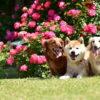 愛犬と一緒に春のお花鑑賞を楽しもう!おすすめのバラ祭り&バラ園<中部エリア>