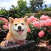 【関東エリア】愛犬と一緒に楽しめる春のバラ園&ローズガーデン特集!