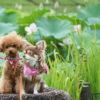 夏の花「蓮(ハス)」に囲まれて、愛犬と幻想的な景色を楽しもう!<東北・中部地方>