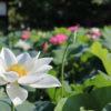 愛犬と一緒に夏のお散歩を楽しもう!由緒ある「清見寺」でハス花を愛でる優雅な時間<静岡市>