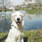 愛犬と一緒にゆったり楽しめる春のお花見!山の辺の道で桜散歩<奈良県>