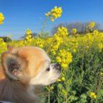 一面に広がる菜の花畑で愛犬とお散歩!「花とアートの岬 長崎鼻 花公園」<大分県>