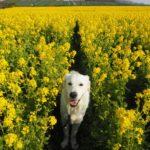 愛犬と一緒に一面に広がる菜の花畑を見に行こう!春到来「観光農園花ひろば」<愛知県>