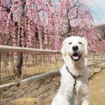 春はわんちゃんも体調を壊しやすい?愛犬と春のおでかけにご注意を!