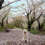 ゴールデンウイークは愛犬と一緒にお花見!秋田県には桜の名所がいっぱい