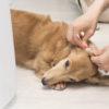 9割の獣医師がNG!やってはいけない愛犬の耳掃除【動物看護師が解説】