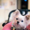 愛犬とのお出かけに便利なわんちゃん用ペットカート!失敗せずに選ぶコツは?