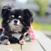 小型犬は散歩に行かなくていいってホント?【動物看護師が解説】