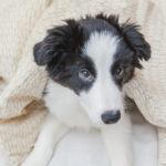犬の避妊・去勢はした方がいい?適正時期はいつ?【動物看護師が解説】