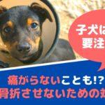 子犬に多い骨折!愛犬に辛い闘病生活をさせないために気をつけること【動物看護師が解説】