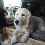 愛犬と一緒に練習しておこう!災害時避難場所としての車中泊