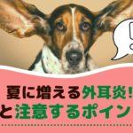 夏に増える犬の外耳炎!原因と注意するポイントは?【動物看護師が解説】