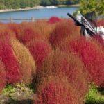愛犬と一緒に秋を満喫!大分県農業文化公園で真っ赤に紅葉したコキア鑑賞