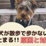愛犬が散歩で歩かない!急に止まる原因と対策は?【動物看護師が解説】
