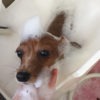 適切な犬のシャンプー頻度をトリマーが解説!年齢や皮膚疾患の有無によっても変わる?