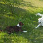 犬同士の遊びについて考えよう!他のわんちゃんと上手に遊ぶには?