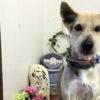 介護中の老犬を自宅でシャンプーしたい!気をつけたいことはある?【トリマーが解説】