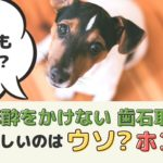 無麻酔歯石取りは犬の体に優しい?高齢でも大丈夫?デメリットはないの?【動物看護師が解説】