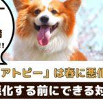 犬のアトピーは春に悪化する?!愛犬のために飼い主さんができる対策は?【動物看護師が解説】