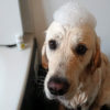 大型犬も自宅でシャンプーしよう!便利グッズと時短アイディアのご紹介