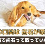 犬の口臭は歯石が原因?歯石取りは自宅でも出来るの?【動物看護師が解説】