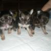 小さすぎる愛犬にはリスクがある?犬の正しい犬種標準(スタンダード)とその意味を知ろう!