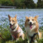 【2021年版】春のおでかけ!愛犬と一緒に行ける全国のネモフィラ畑のある公園8選