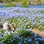 ただいま満開!大分農業文化公園のネモフィラ畑を愛犬とともにレポートします<大分県>