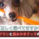 正しく選べてる?犬の歯ブラシと歯みがきグッズの選び方【動物看護師が解説】