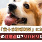 「愛犬が前十字靭帯断裂と診断されたら」手術後に注意することは?リハビリは必要?【動物看護師が解説】