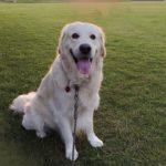 わんちゃんと暮らす方が「飼ってみたい犬種NO.1」ゴールデン・レトリーバーの魅力について語る!