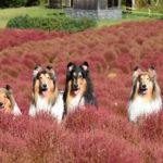 愛犬と一緒に秋のコキア鑑賞を楽しもう!全国のペット同伴OKの公園9選