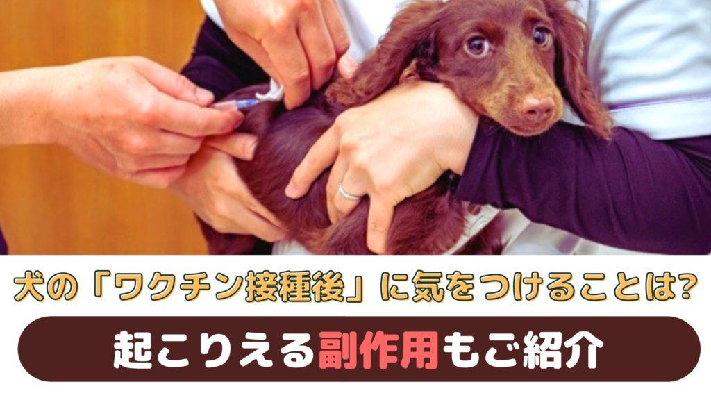 「犬のワクチン接種後に気をつけることは?」起こりうる副作用もご紹介【動物看護師が解説】